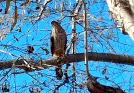 In our rural environment almost anything can happen. We have been adopted by a family of Hawks.