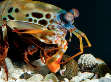 Everyone loves the Mantis Shrimp because of their many colors.