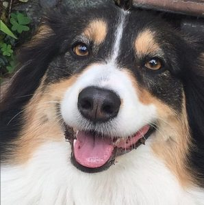 Ronnie is our smart and rascally Australian Shepard!